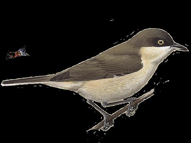 Western Orphean Warbler