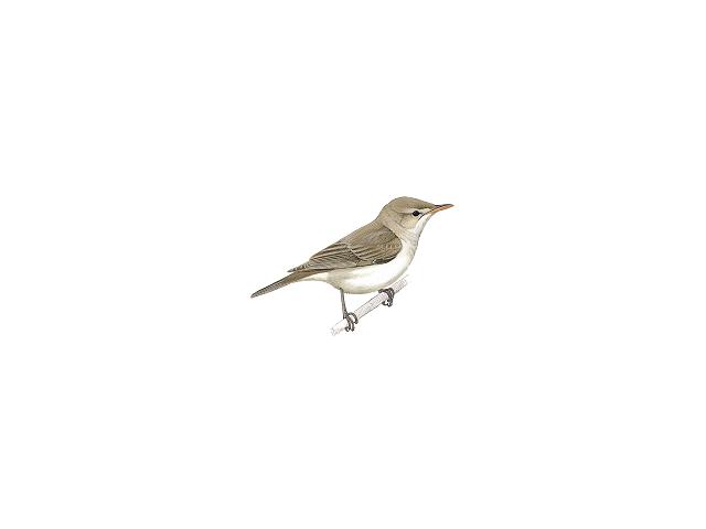 Sykes' Warbler