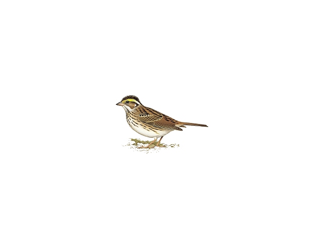 Yellow-browed Bunting