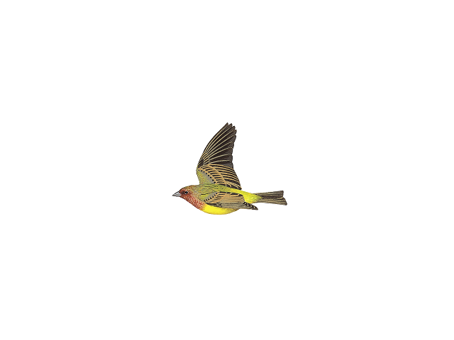 Red-headed Bunting