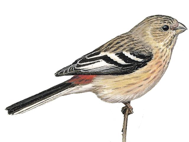 Long-tailed Rosefinch