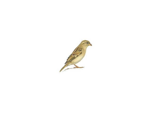 Spanish Sparrow