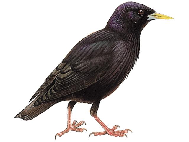 Spotless Starling
