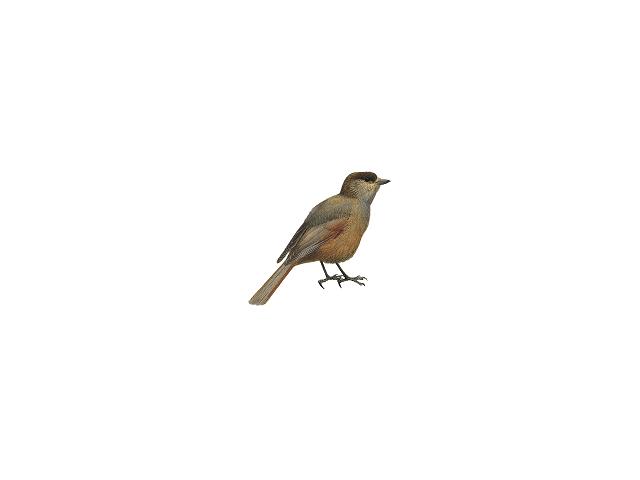 Siberian Jay