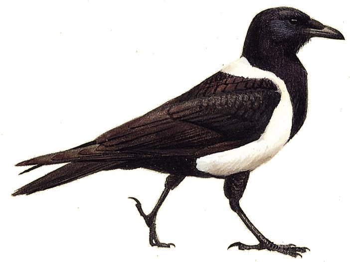 Pied Crow